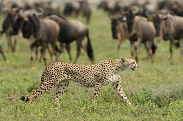 Cheetah sanctuary Tanzania
