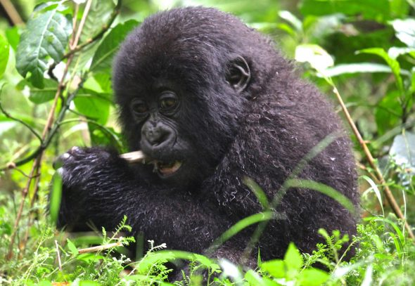 baby-mountain-gorilla-21-copy