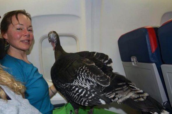 Flying wild turkey on plane